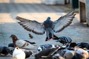 Milyen károkat okozhatnak a galambok?