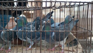 A galambok befogásának fontossága